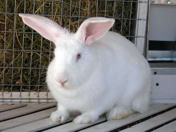 Rabbit raza White giant